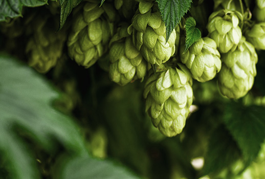 What hops are
