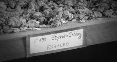 Storie di birra – Styrian Golding